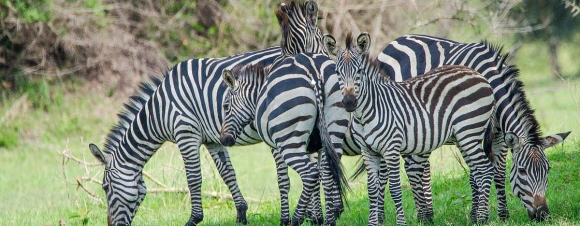 6 Days Mgahinga forest, Queen Elizabeth, and Lake Mburo Wildlife Safari