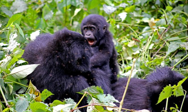 8 Days Virunga Gorilla Extravaganza