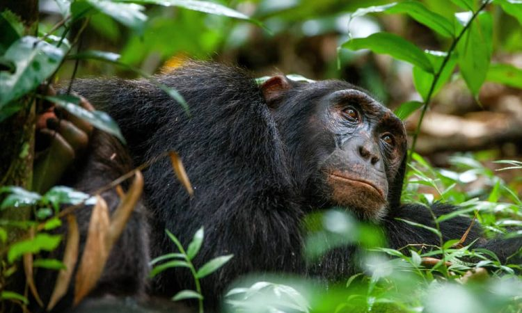 6 days Kibale forest, Queen Elizabeth and Lake Mburo Safari