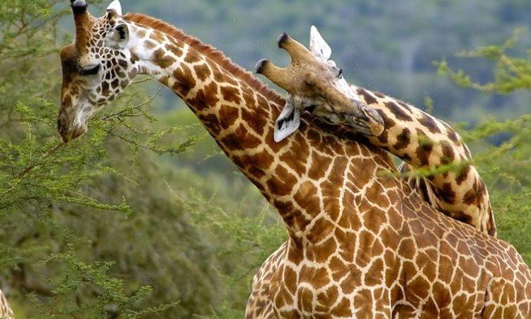 5 days Akagera and Volcanoes Wildlife Safari