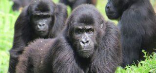 Eastern Lowland Gorilla Families in Kauzi Biega National Park
