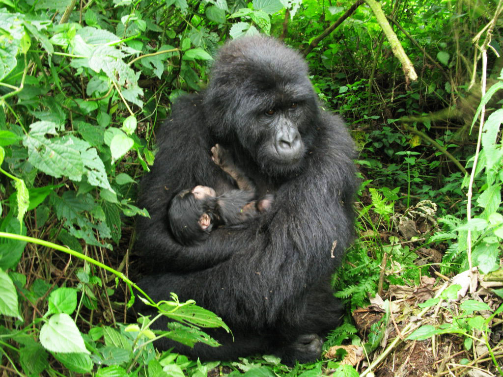 Newborn baby gorilla in Virunga National Park
