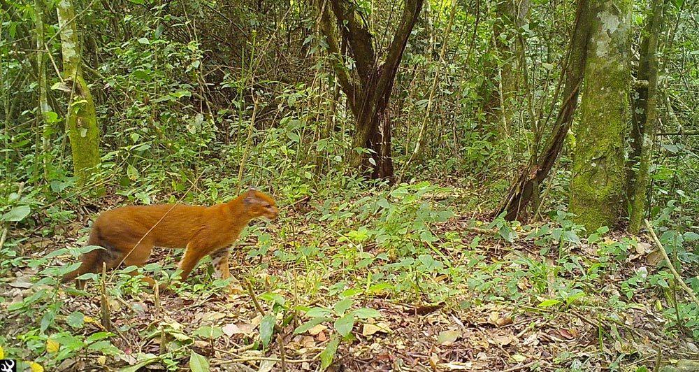 African Golden Cat sighted in Virunga National Park Congo