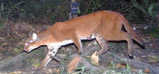 African Golden Cat sighted in Virunga National Park Congo