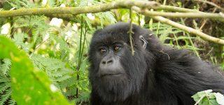 Gorilla Trekking Permits in Rwanda 2021