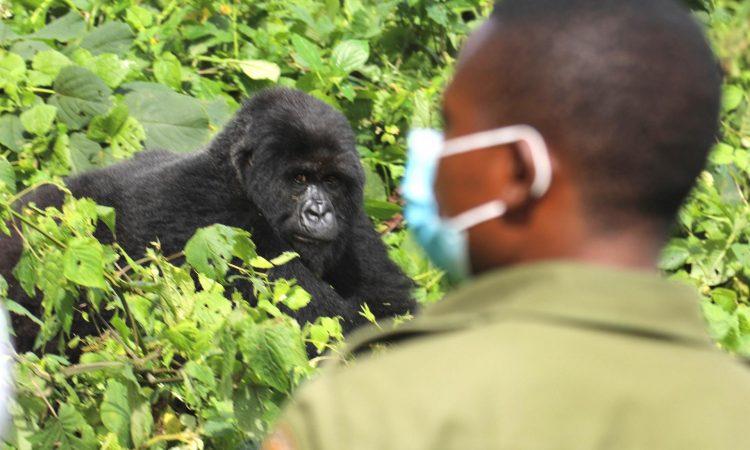 Gorilla Trekking in Uganda During COVID-19