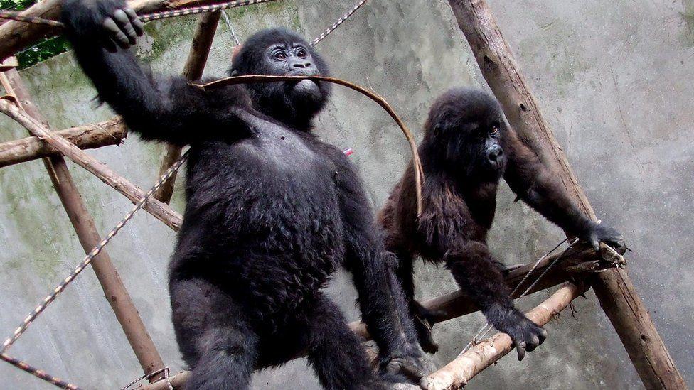 Ndakasi , Orphaned Virunga gorilla dies At 14